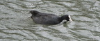 Coot (Fulica atra) in motion