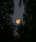 Full moon among trees