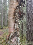 Birch with loose bark