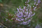 Flowering heather (Calluna vulgaris)